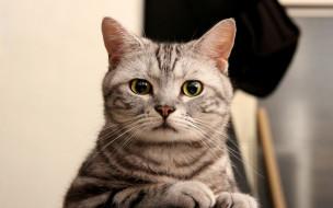 животные, коты, полосатая, взгляд, кошка, кот