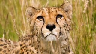 животные, гепарды, гепард, трава, саванна