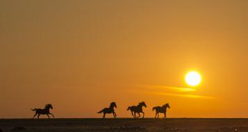 животные, лошади, закат, поле, силуэт, бег