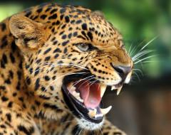 леопард, животные, леопарды, хищник