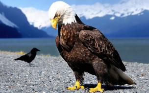 животные, птицы - хищники, горы, озеро, галька, ворон, орел, берег