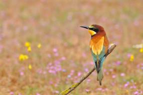 животные, щурки , пчелоеды, цветы, поляна, сук, птица
