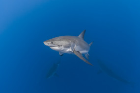 животные, акулы, акула