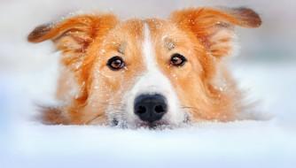 обои для рабочего стола 1920x1093 животные, собаки, собака, пес, голова, рыжий, снег