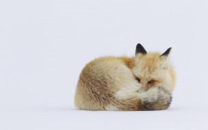 обои для рабочего стола 1920x1200 животные, лисы, лиса, рыжая, снег, зима