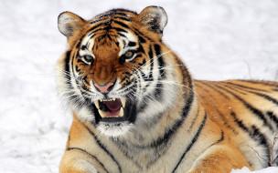 обои для рабочего стола 2560x1600 животные, тигры, тигр, оскал, снег, зима