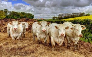 животные, коровы,  буйволы, взгляд, фон