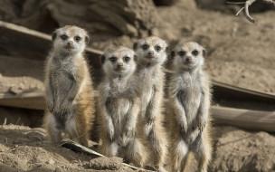 животные, сурикаты, грызуны, семья
