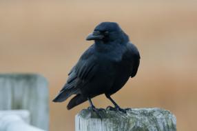 животные, вороны,  грачи,  галки, птичка