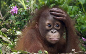 животные, обезьяны, трава, цветы, орангутанг, детеныш, обезьяна