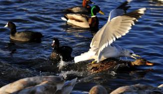 животные, разные вместе, вода, утки, водоплавающие, птицы, лысухи, чайка
