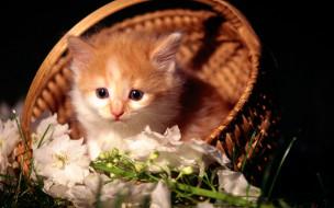 животные, коты, котенок, рыжий, корзина, цветы