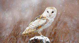 животные, совы, сипуха, птица, снег, зима, пень, трава
