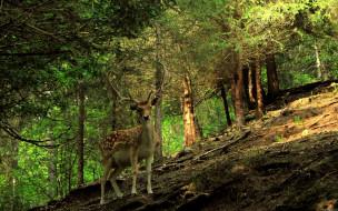 животные, олени, олень, лес
