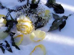 цветы, розы, снег, лепестки