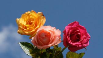 цветы, розы, небо, розовые, желтая