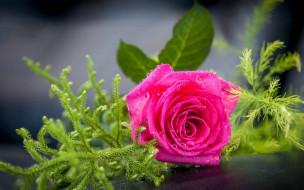 цветы, розы, капли