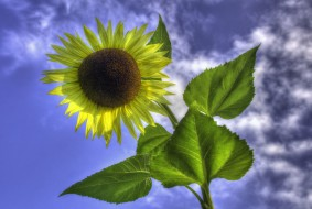 цветы, подсолнухи, подсолнух, цветок, небо, листья, облака