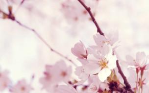 обои для рабочего стола 2560x1600 цветы, сакура,  вишня, весна, цветение, ветки