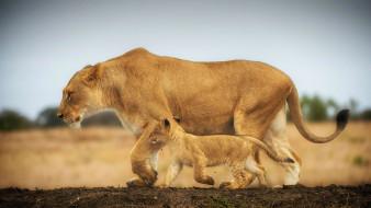 животные, львы, прогулка, большие, кошки, львенок, львица