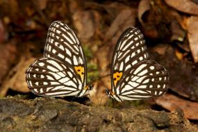 животные, бабочки,  мотыльки,  моли