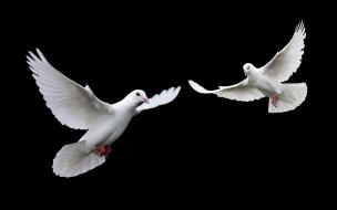 животные, голуби, птицы, чёрный, фон, белые