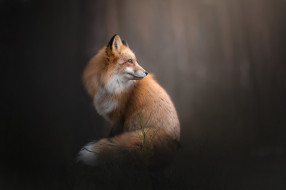 животные, лисы, морда, взгляд, лиса