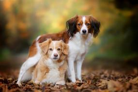 животные, собаки, боке, коикерхондье, осень, листья, парочка, бретонский, эпаньоль