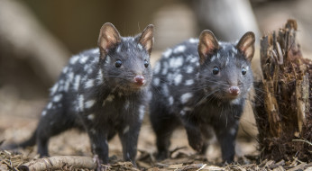 животные, крысы,  мыши, кволлы, пара, пень