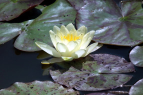 цветы, лилии водяные,  нимфеи,  кувшинки, белая, лилия, листья, вода