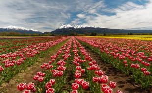 цветы, тюльпаны, поле