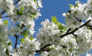 цветы, цветущие деревья ,  кустарники, ветка