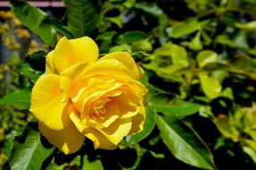 цветы, розы, цветок