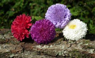 цветы, астры, четверка