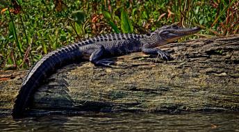 животные, крокодилы, крокодил