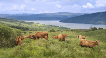 животные, коровы,  буйволы