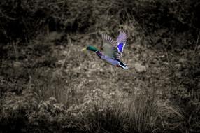 животные, утки, птица, природа, утка