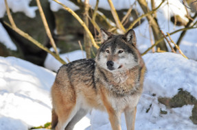 животные, волки,  койоты,  шакалы, волк