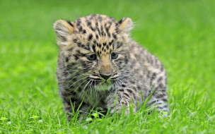 животные, леопарды, леопард, детеныш, котенок, трава, амурский