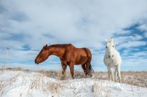 животные, лошади, снег