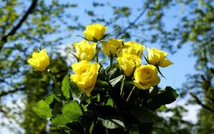 цветы, розы, букет, желтые