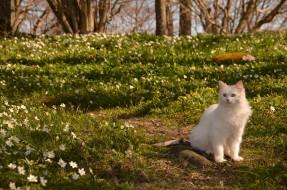 животные, коты, природа, весна, кот, ветреница, цветы, кошка