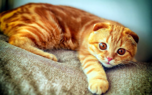 животные, коты, диван, вислоухий, рыжий, кот, кошка