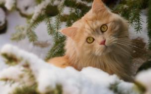 животные, коты, снег, взгляд, рыжий, кот, зима, кошка, ветки, мордочка