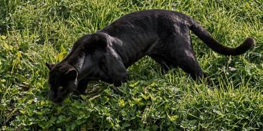 животные, пантеры, ягуар, чёрный, кошка, хищник, трава, свет