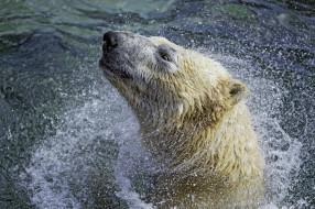 животные, медведи, хищник, белый, полярный, морда, отряхивается, брызги, вода, купание, зоопарк