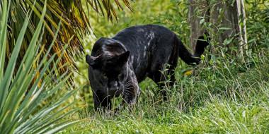 животные, пантеры, ягуар, чёрный, хищник, морда, смотрит, засада, трава