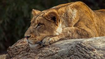 животные, львы, львица, лежит, морда, профиль, мех