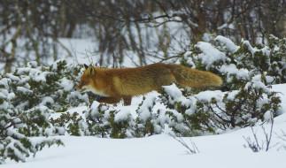 животные, лисы, лес, рыжая, зима, снег, мех, профиль