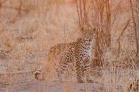 животные, леопарды, хищник, молодой, грация, свет, африка